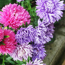 China Aster Seeds 50 Seeds Callistephus Chinensis Nees Flower Garden Seeds A012