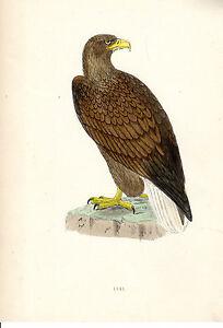 ANTIQUE-HAND-COLOURED-F-O-MORRIS-BIRD-PRINT-AN-ERNE-c-1870