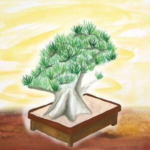 Stone Pine Pinus Pinea Seeds For Bonsai Or Garden Plant 10 Seeds Ebay