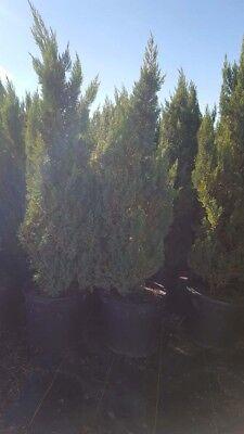 Blue Point Juniper 5 gal Hedge Shrub Evergreen Plant Landscape