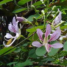 Kletterbauhinie•Bauhinia corymbosa•10 Samen/seeds•Climbing Orchid Tree