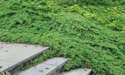 Dwarf Japanese Garden Juniper 6 Plants In 3 1 2 Inch Pots Ebay