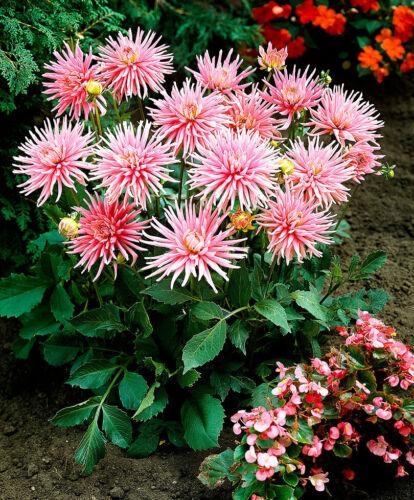 beaucoup de couleurs disponibles Fleurs d/'été. Rothschild Ampoules ® Cactus Dahlias Packs de 2