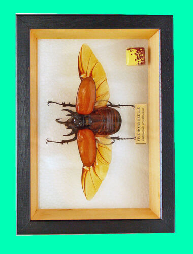 Eupatorus gracilicornis m FRAMED 5 HORNED BEETLE