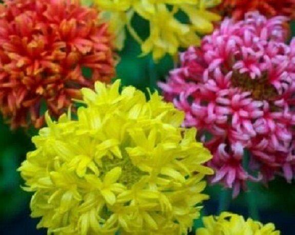 30+ Indian Blanket Doubles Mix Gaillardia / Flower Seeds