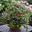 200Pcs-Pepper-Capsicum-Vegetable-Seeds-Rare-Colorful-Hot-Chili-Bonsai-For-Garden thumbnail 4