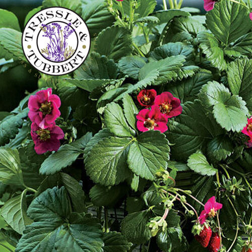 Rare NEW Strawberry Toscana with rose flowers 10 seeds UK SELLER