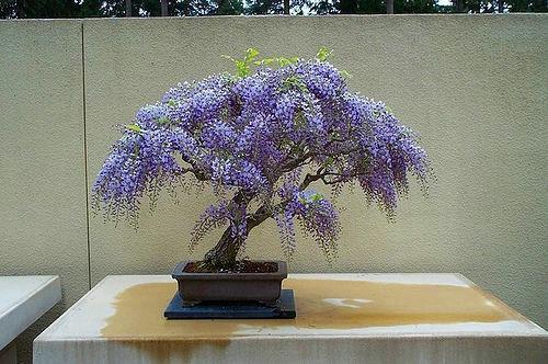 Tree Wisteria Bolusanthus Speciosus 20 Bonsai Seeds For Sale Online Ebay