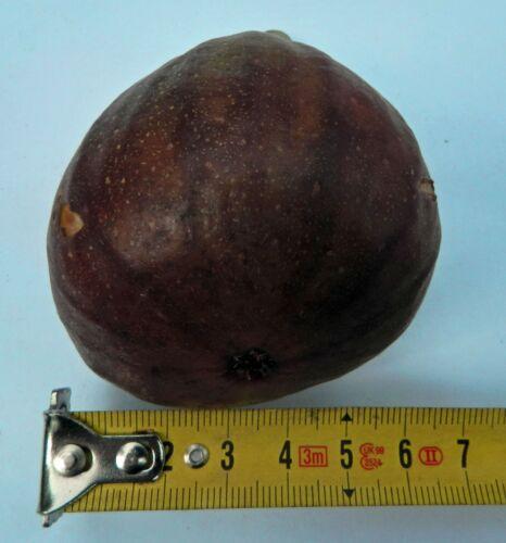 Higo // 20 cm plant Ficus carica Feige Common Edible Mission Fig Tree Higuera