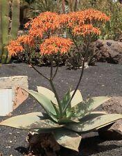 20 Seeds - Coral Aloe - Aloe striata