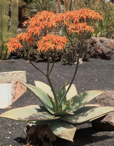 Aloe striata 20 Seeds Coral Aloe