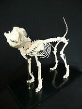 Dog Anatomy Model Canine Anatomical Skeleton Education Study Demonstration Model
