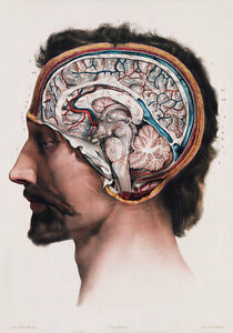 ML09-Vintage-1800-s-Medical-Human-Brain-Surgical-Anatomy-Poster-RePrint-A2-A3-A4