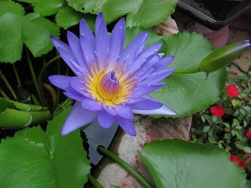 Nymphaea nouchali 15-2000 graines blue water lily USA Aquatic Star Lotus