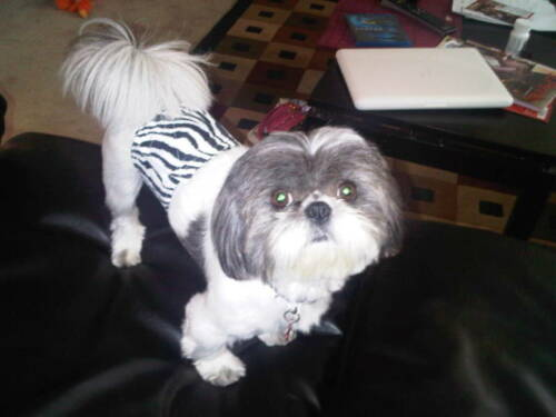 Original Dog Diaper Belly Band Pet Wrap House Potty Train Yorkie Halloween XS