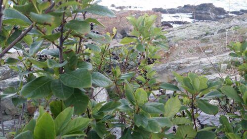 CHOKEBERRY SHRUB Aronia melanocarpa 2-3/' LOT OF 10