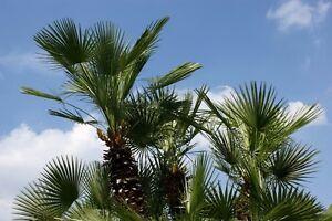 Garten-Pflanzen-Samen-winterharte-Zierpflanze-Saatgut-Palme-HANFPALME