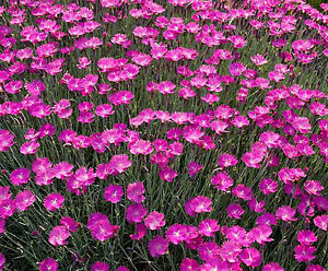 Cheddar pinks seeds pink dianthus perennial flower for Perennial ground cover with pink flowers