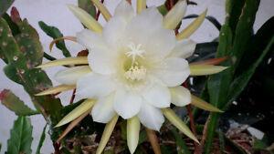Epiphyllum-10-PCS-Nightblooming-Cereus-Home-Garden-Flower-Plants-Planting-Summer