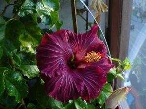 20 Rare Dark Purple Hibiscus Seeds Perennial Flower Garden Exotic