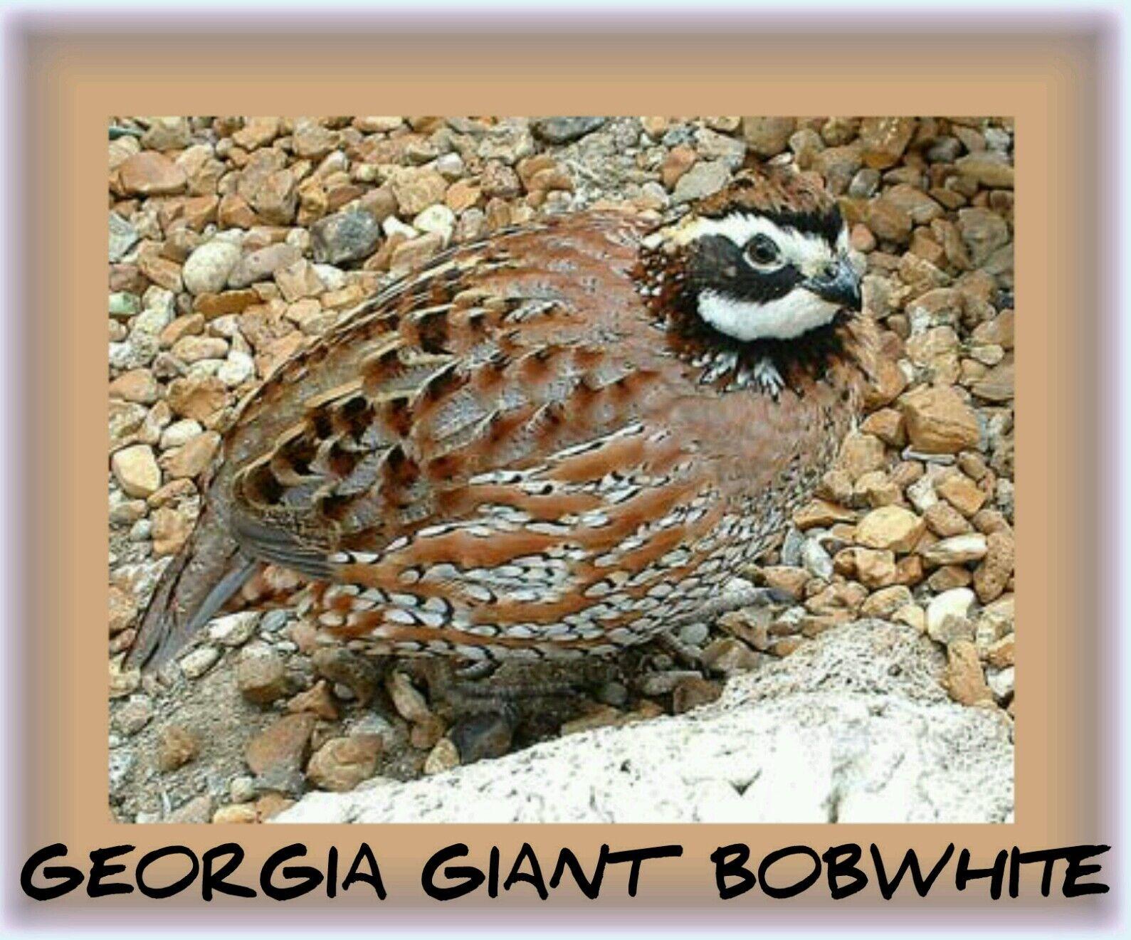 600 Georgia Giant Bobwhite Quail Hatching Eggs