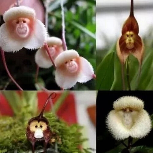 New 10pcs Monkey Face Orchid Flower Seeds Plant Seed Bonsai Home Garden Nice ME