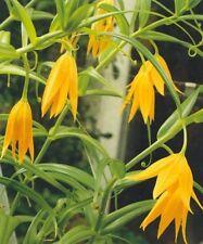 Littonia modesta lirio mantequilla-escalada-Semillas Frescas