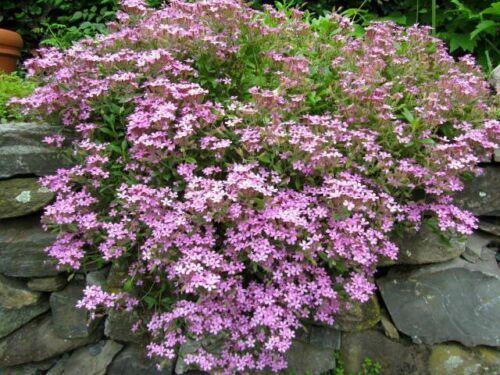 30 Rock Soapwort Flower Seeds-Saponaria Ocymoides Rose-pink Seeds--FFL430