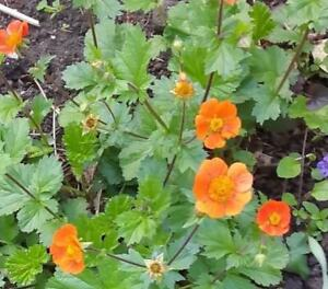 Geum coccineum borisii hardy perennial x 30 seeds bee friendly image is loading geum coccineum 039 borisii 039 hardy perennial x mightylinksfo