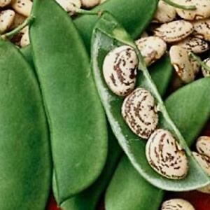 Jackson Wonder Lima Bean Seed (Bush type) - US Seller - Ships Fast!