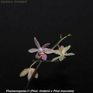 TS421.22 Phal Li'l Bit (Phal lindenii x Phal maculata) Bare Root A244