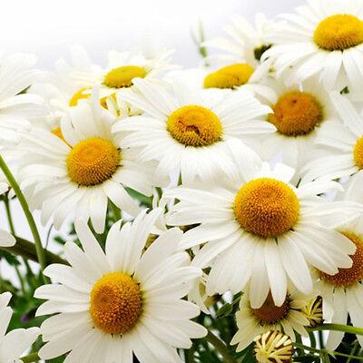 500 Samen Großpackung Wiesen Mutterkraut Margerite Chrysanthemum Neu Pro