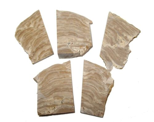 Mississippian stromatolite fossil slice excellent layered beds Russia in gem jar