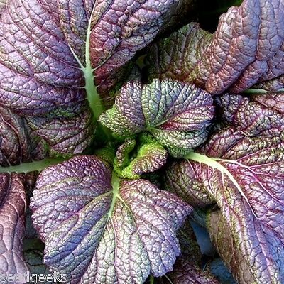 Red Giant Mustard Greens Heirloom Seeds -Non-GMO-Untreated-Open Pollinated!