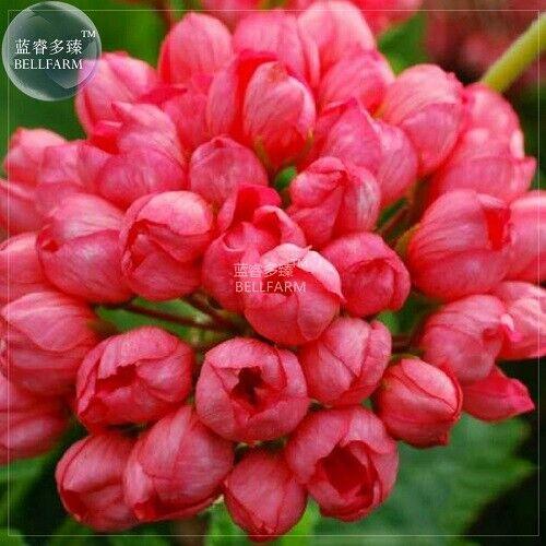 10 seeds rare Geranium Tulip Orangish Red Bud  Perennial Bonsai Flowers plants