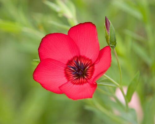 délicate ROUGE FLEURS * prachtlein rouge Lein graines Linum Grandiflorum Semences