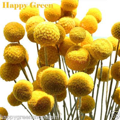 DRUMSTICK YELLOW - BILLY BUTTON - 300 Seeds - Craspedia globosa - ANNUAL FLOWER