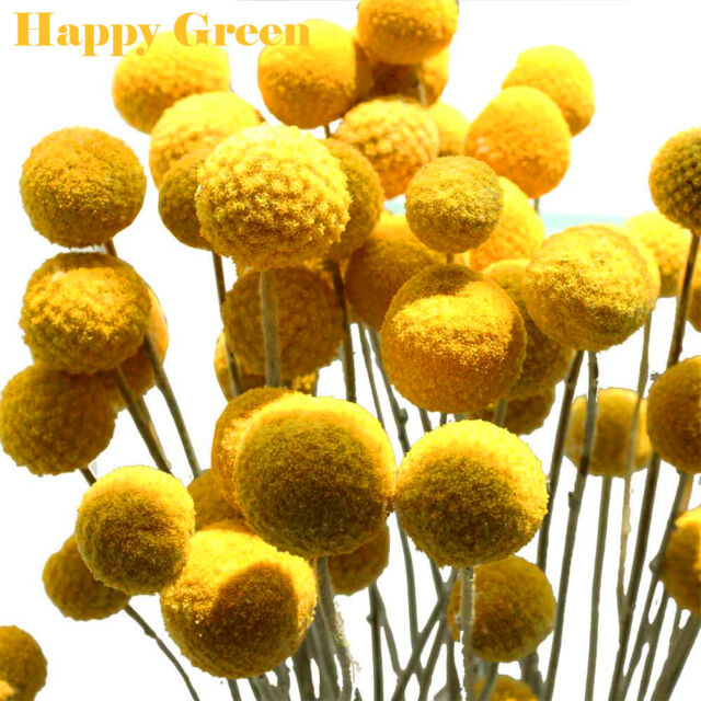 DRUMSTICK YELLOW - BILLY BUTTON - 300 Seeds - Craspedia globosa - ANNUAL FLOWER