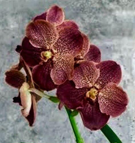 Vanda Autumn Breeze  XXL Pflanze blühstark Orchidee Orchideen