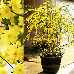 Chinese-Bright-Yellow-Flowers-Winter-Jasmine-Vine-Shrub-LIVE-Rooted-Plants