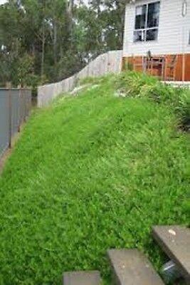 10 White Creeping Boobialla Ground Cover Native Garden Plants Tubestock