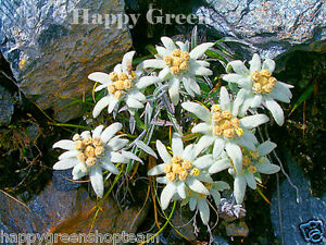 Edelweiss - 450 SEEDS - Leontopodium Alpinum - PERENIAL ROCKERY ALPINE FLOWER