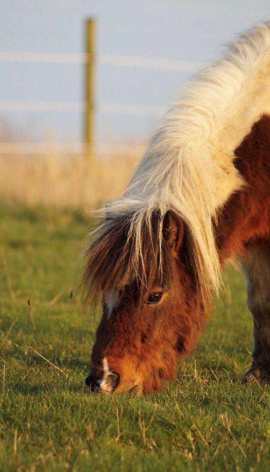 Shetlandspony, vallak, 6 år