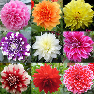 Image is loading 100pcs-Dinner-Plate-Dahlia-seeds-Chinese-Peony-bonsai- & 100pcs Dinner Plate Dahlia seeds Chinese Peony bonsai flower Mix 4 ...