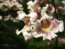CATALPA BIGNONIOIDES - INDIAN BEAN TREE, 50 HIGH QUALITY SEEDS