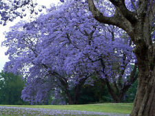25 Purple Blue Jacaranda Mimosifolia Tree Seeds, for bonsai or landscaping