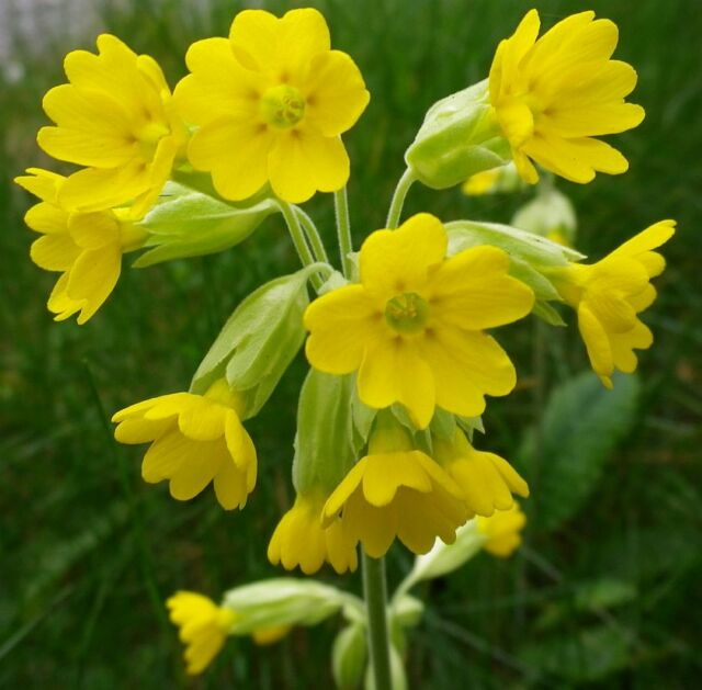 WILD FLOWER COWSLIP 0.85 GM APPROX 850 SEEDS PRIMULA VERIS