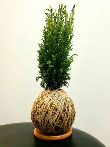 Kokedama Chamaecyparis Lawsoniana Lawson Cypress moss ball handmade