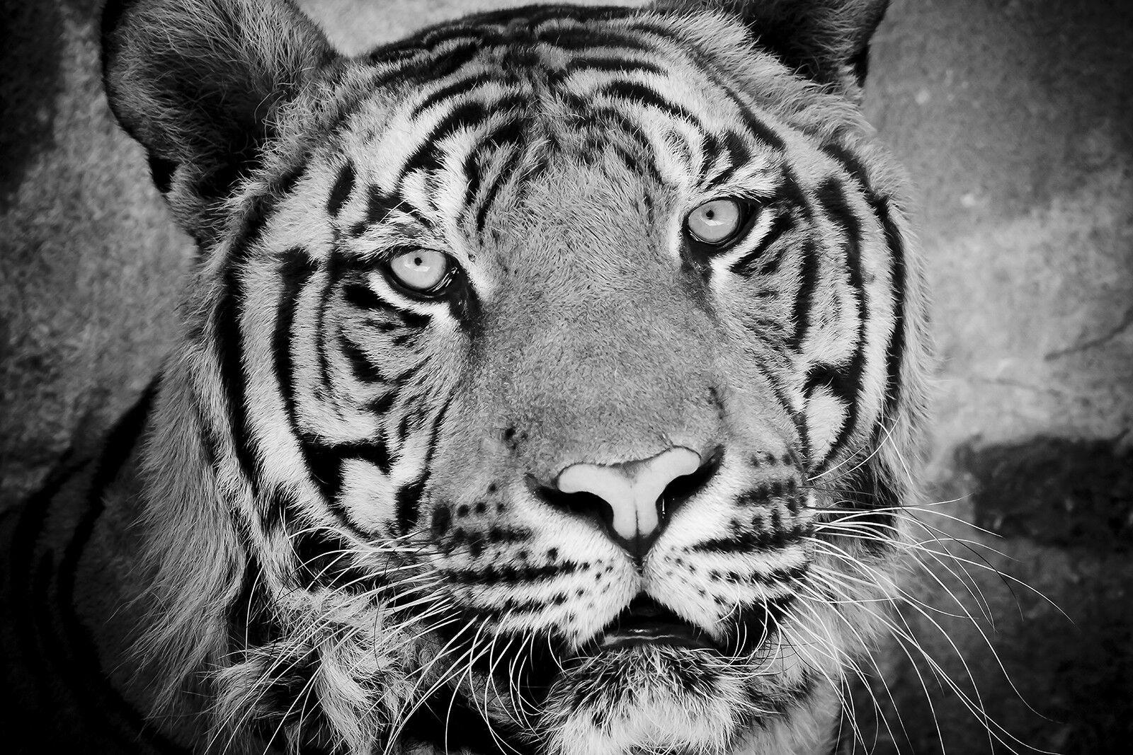 Verre Trempé Impression Photo Wall Art Art Art Photo Tiger Head Cat b&w Prizma GWA0328   Les Consommateurs D'abord    Authentique    En Qualité Supérieure  34fcc7