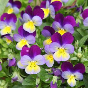 Wie-zauberhaft-niedliche-gelbe-und-pupurne-Blueten-des-Wilden-Stiefmuetterchens